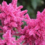 How To Plant Astilbe Bare Root? 2 Free Steps!