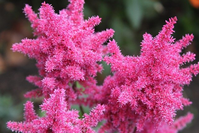 How To Plant Bare Root Astilbe Best Guide