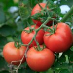 How to Grow Tomatoes in the UK? 6 Secret Tips!