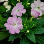 How To Grow Impatiens From Cuttings? 2 Bonus Steps!