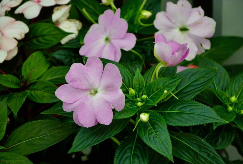 How To Grow Impatiens From Cuttings. 2 Easy Steps