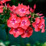 How To Grow Phlox From Cuttings? 2 Free Steps!