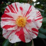 How to Root Camellias from Cuttings? 4 Efficient Steps!
