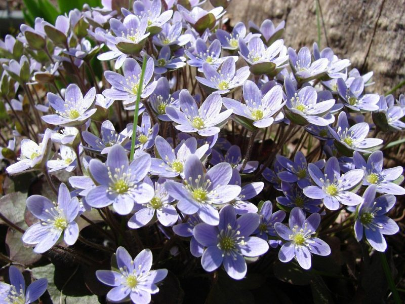 How To Get Rid Of Liverwort. Top Solution