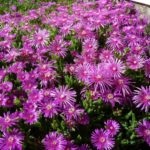 How To Grow Ice Plant From Cuttings? 2 Special Steps!