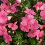 How to Revive Dying Impatiens? The Trick!
