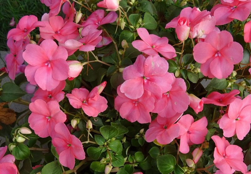 How to Revive Dying Impatiens