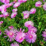 How to Propagate Ice Plants In The UK? 2 Proven Ways!