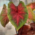 How To Propagate Caladium In The UK? The Method!