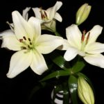 How Long Do Lilies Last in a Vase? Answered Questions!