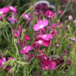 How To Keep Lobelia Blooming All Summer? More Discovered!