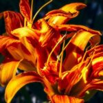How To Grow Daylilies In Pots? 2 Proven Steps!