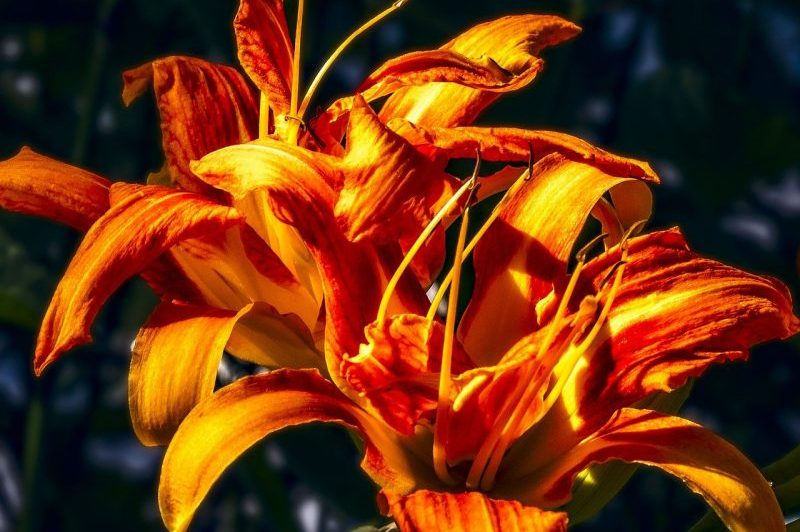 How To Grow Daylilies In Pots In 2 Easy Steps