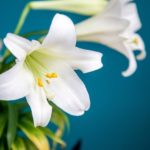 How Long Do Easter Lilies Last? The Trick!