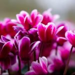 How to Propagate Cyclamen Plants? 2 New Ways!