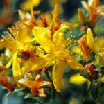 How To Prune St John's Wort? The Clue!