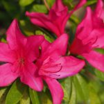 How to Take Care of Azalea Plants? 5 Effective Practices!