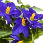How to Care for Campanula? The Clue!