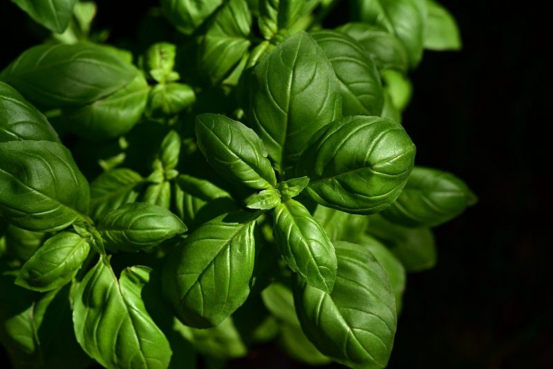 How To Fertilize Basil. 3 Best Considerations