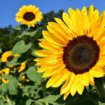 How To Keep Sunflowers Fresh? 2 Free Steps!