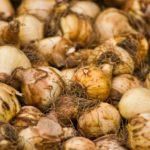 How Long Do Bulbs Last Unplanted? The Answer!