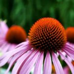 How to Propagate Echinacea from Cuttings? 9 Effective Steps!