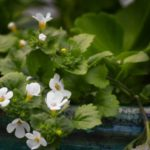 How To Care For Bacopa? 3 Exclusive Factors!