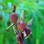 How To Plant Canna Seeds? 4 Free Steps!