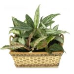 How to Propagate Aglaonema In The UK? 4 New Methods!