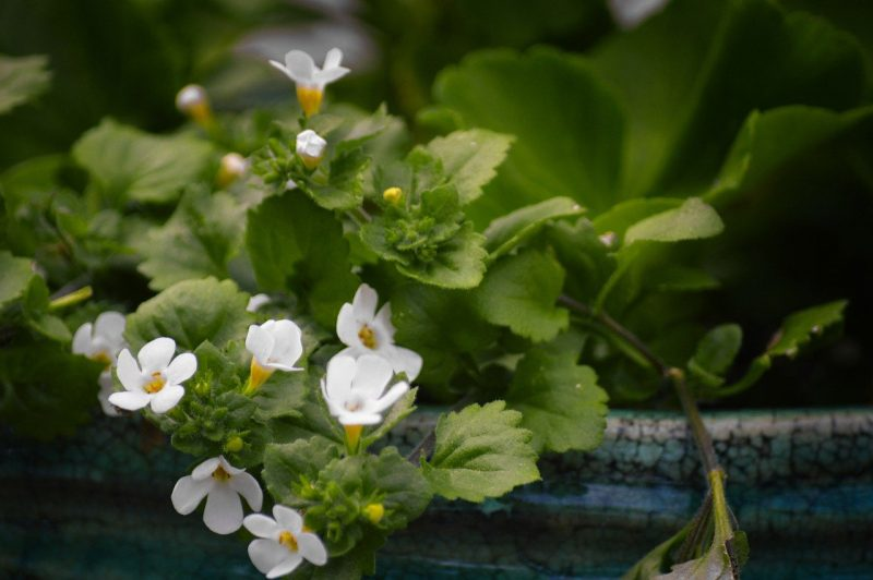 How To Propagate Bacopa. 2 Methods For Success