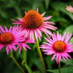 How To Transplant Coneflowers In The UK? 2 Free Steps!