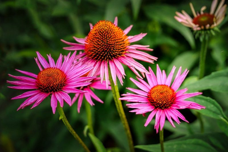 How To Transplant Coneflowers. Best 2-Step Guide