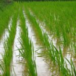 How To Grow Rice Hydroponically? 4 Easy Steps!
