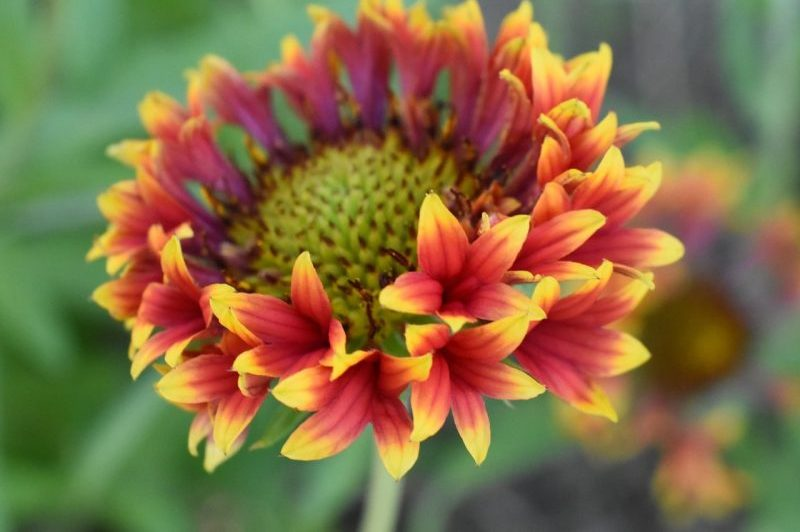 How to Grow Gaillardia: Growth Guidelines and More