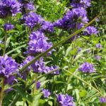 How To Get Rid Of Campanula? 2 Free Methods!