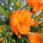 How To Prepare Daylilies For Winter? The Way!