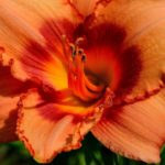 How To Transplant Daylilies? 3 Special Steps!