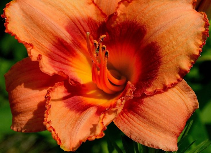 How To Transplant Daylilies In 3 Easy Steps