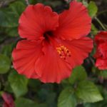 How To Grow Hibiscus From Cuttings? 3 Special Steps!