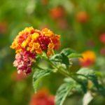 How to Plant Lantana Seeds? 5 Limited Steps!