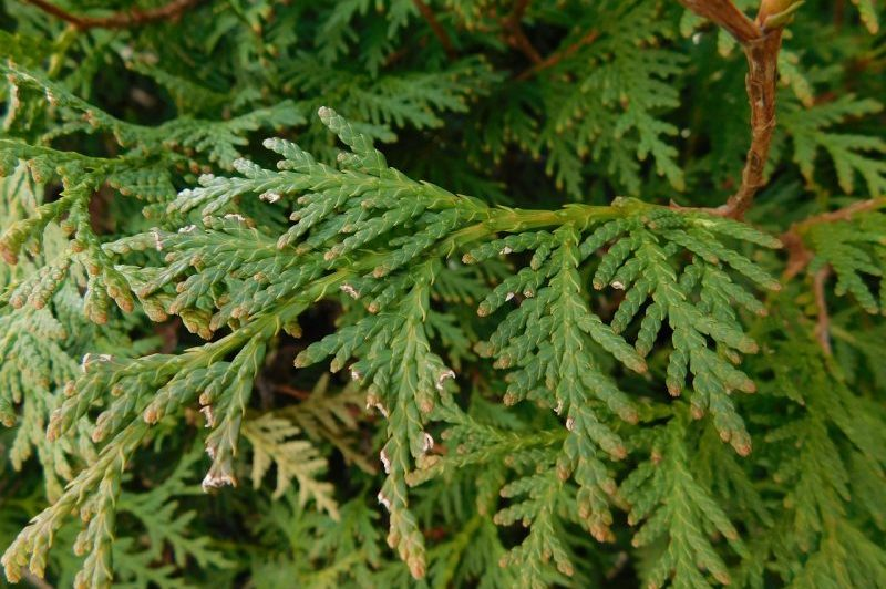 How To Grow Arborvitae From Cuttings Successfully
