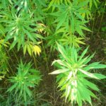 How To Increase THC Production