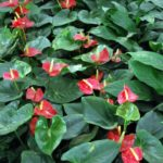 How to Grow Anthurium in Water? 4 Proven Steps!