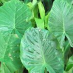 How To Propagate Elephant Ears? 2 Special Methods!
