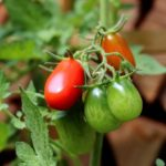 How To Grow Tomatoes Commercially? 3 Free Steps!