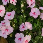 How To Save Impatiens Seeds? The Trick!