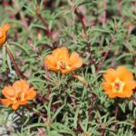How To Grow Purslane From Cuttings? 2 Powerful Steps!