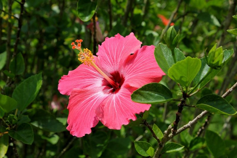 How To Transplant Hibiscus in 3 Easy Steps