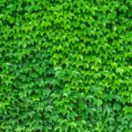 How To Transplant Ivy Ground Cover? 2 Exclusive Steps!
