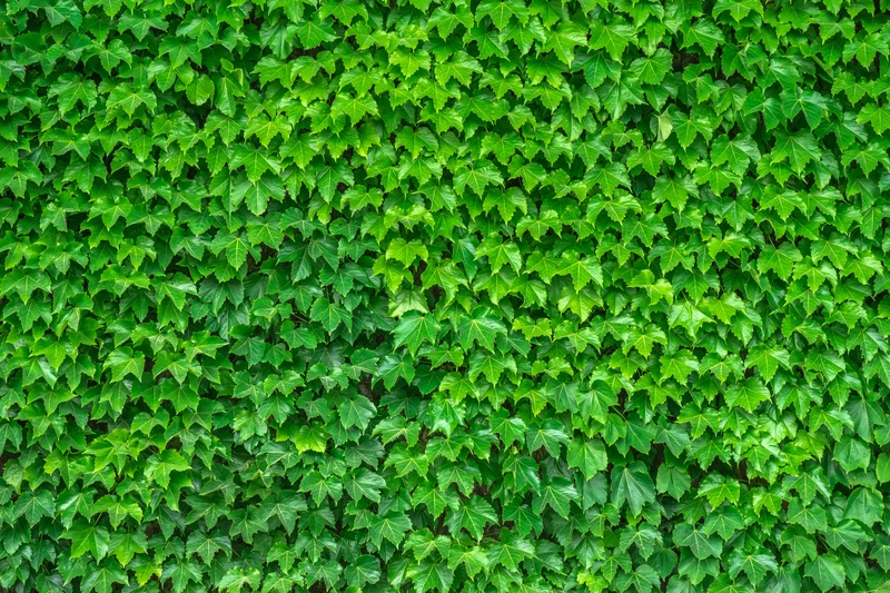 How To Transplant Ivy Ground Cover In 2 Easy Steps